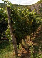 Bulharská vinice